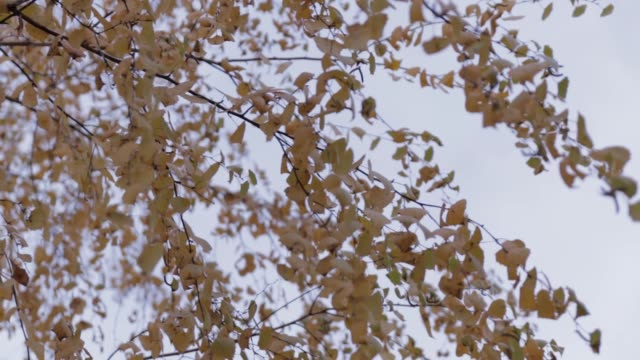 Autumn Birch Tree with smooth movement video