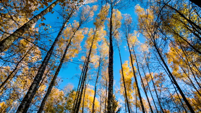 Autumn Birches And Blue Sky video