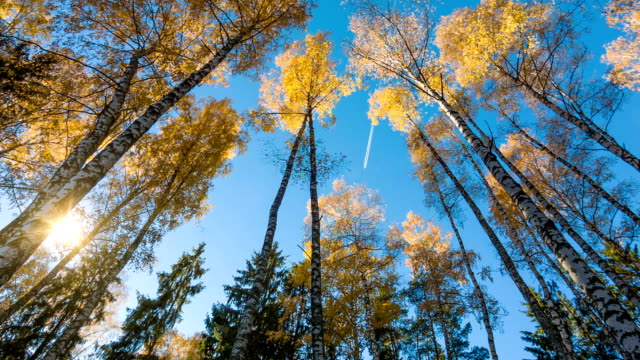 Autumn Birches And Fly In Sky video