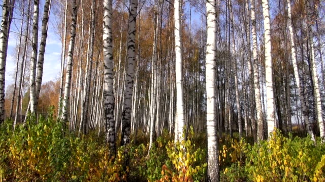 autumn birches tree forest video