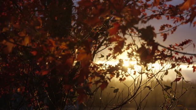 autumn breeze through a maple tree - maple leaf stock videos & royalty-free footage