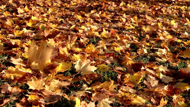 Autumn bright maple leaves fall down and cover the ground video
