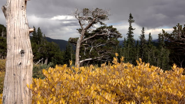 Autumn Bristlecone pine forest Mount Goliath Natural Area Mount Evans Wilderness Colorado Rocky Mountains video
