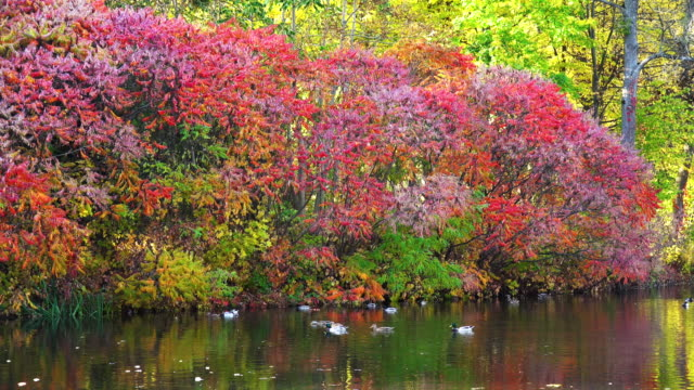 Autumn bush and ducks on the lake video