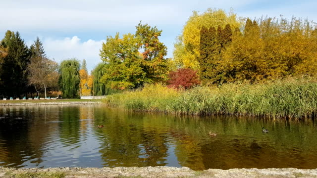 Autumn city park. Park in the fall. Ducks swim in the pond. Bright autumn trees in the park. Sunny day. Light breeze. video