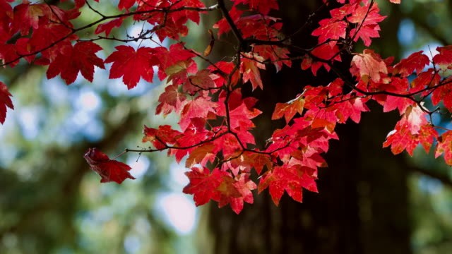 Autumn Color Beautiful Autumn Color maple leaf videos stock videos & royalty-free footage