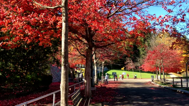 Autumn colored maple leaf Vancouver Autumn colored maple leaf Vancouver vancouver canada stock videos & royalty-free footage