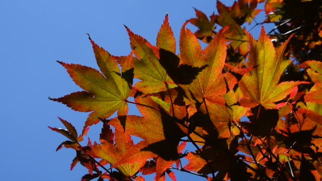 Autumn colorful red acer leaves over blue sky video