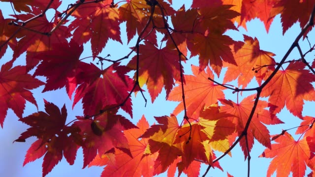 Autumn Colors Autumn Colors maple leaf videos stock videos & royalty-free footage
