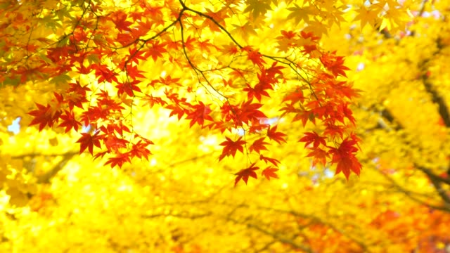 Autumn Colors Autumn Colors ginkgo stock videos & royalty-free footage
