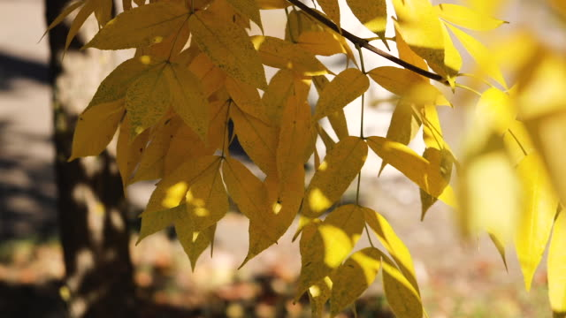 Autumn colors. Yellow leaves  in the garden. Selective focus.