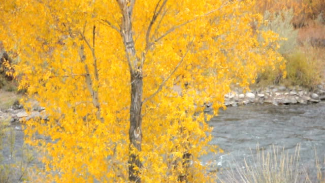 Autumn Cottonwood Flowing in Wind with River