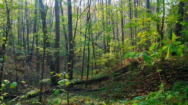 Autumn deciduous forest panning background time-lapse video