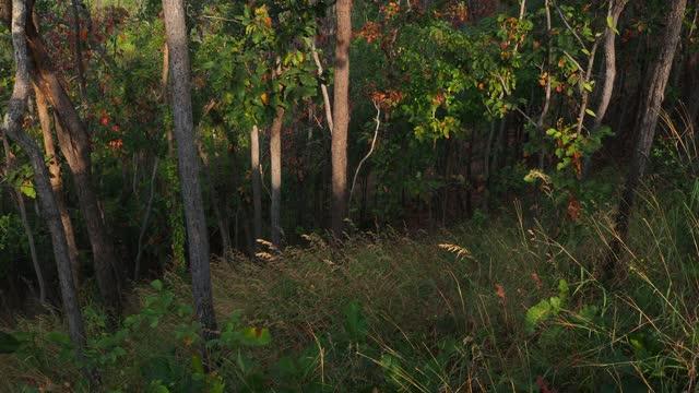 Autumn dipterocarp tree in deciduous dipterocarp forest