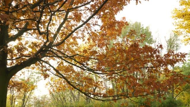 autumn fall oak tree leaves 4k - дубовый лес стоковые видео и кадры b-roll