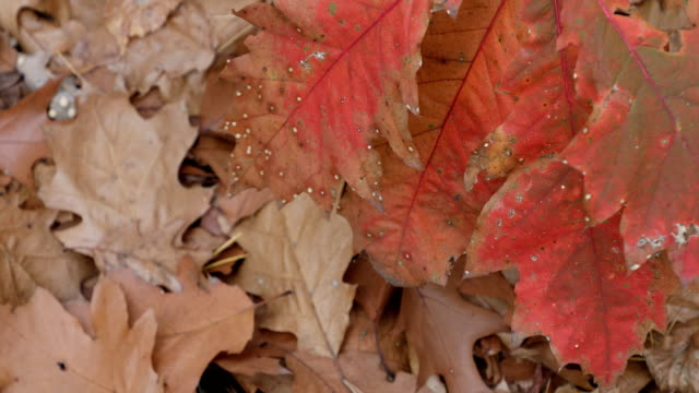 Autumn. Fall scene.Red,yellow,orange colours of autumn. Beauty nature scene trees and leaves. Nature background. Selective focus. 4k video video