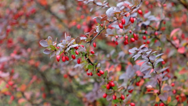 Autumn. Fall scene.Small red fruits. Beauty nature scene trees and leaves. Nature background. Selective focus. 4k video video