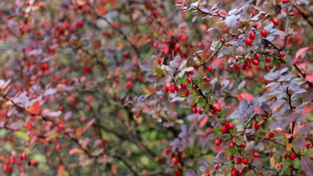 vídeos de stock, filmes e b-roll de outono. cena de queda. pequenos frutos vermelhos. beleza natureza cena árvores e folhas. fundo de natureza. foco seletivo. vídeo de 4k - pink october