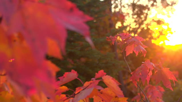 CLOSE UP: Autumn foliage leaves on maple tree canopy in mixed woods at sunset