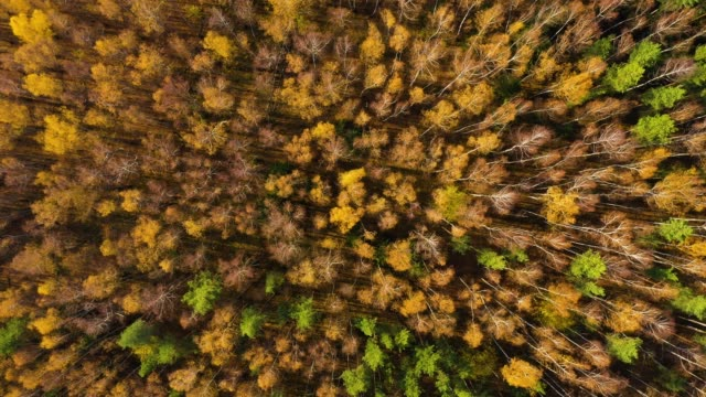 autumn forest aerial drone view. deciduous forest in the fall - дубовый лес стоковые видео и кадры b-roll