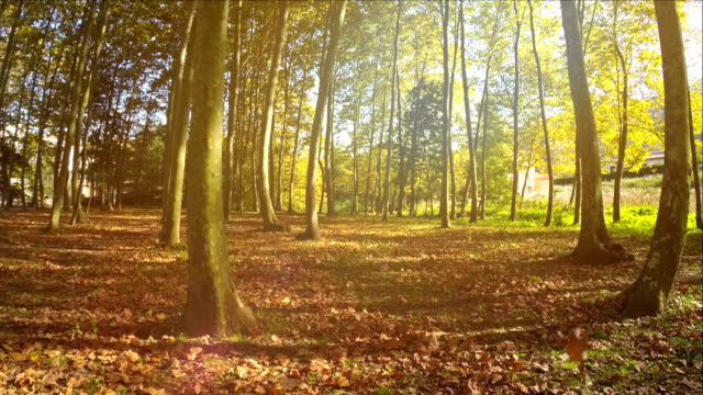 Autumn Forest at sunset video