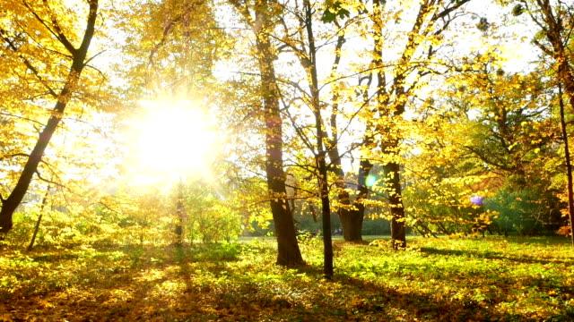 Autumn forest sun trees video