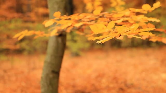 HD DOLLY: Autumn Forest video