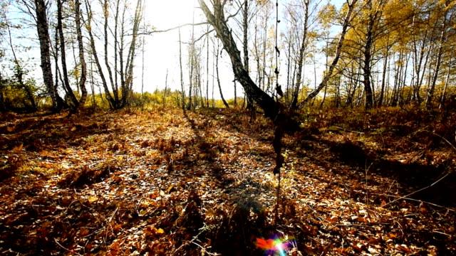 foresta d'autunno - abbrustolito video stock e b–roll