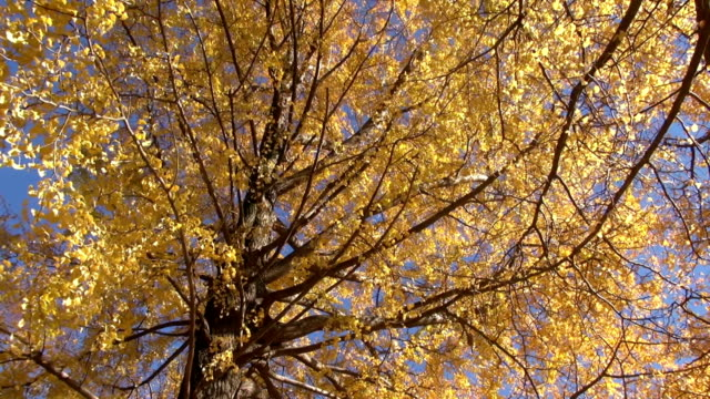 Autumn ginkgo tree in a windy day Wind brew yellow ginkgo leaves. Branches swing very badly.  ginkgo tree stock videos & royalty-free footage