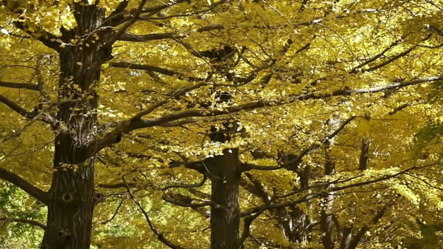 Autumn ginkgo woods Yellow leaves fall as if rain. 720p 29.97fps. ginkgo tree stock videos & royalty-free footage