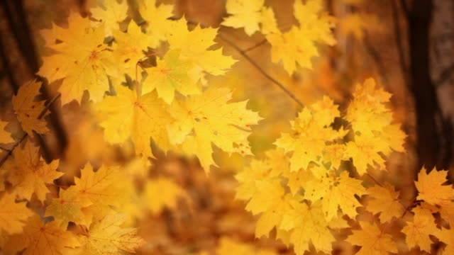 Autumn golden background  maple leaf videos stock videos & royalty-free footage