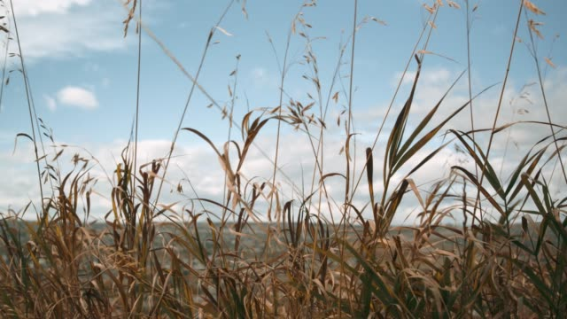 Autumn Grass Blowing Against Blue Sky Slow Motion 4k