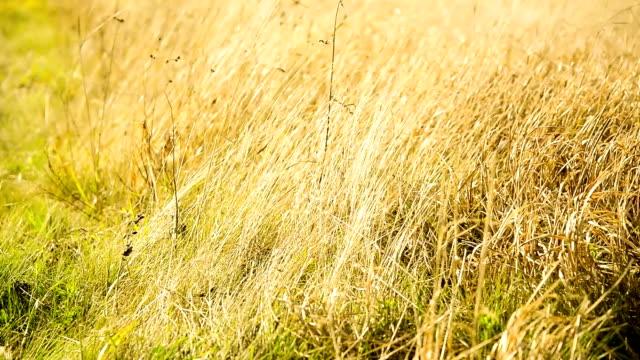 vidéos et rushes de automne herbe - couleur saturée