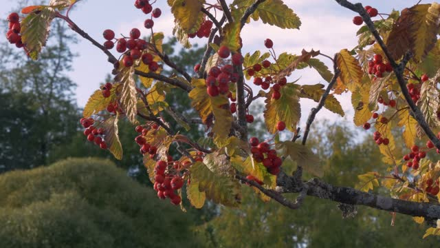 Autumn hawthorn bush strewn with many bright red healthy berries. Stock video 4k