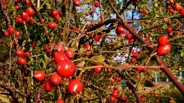 Autumn hawthorn bush strewn with many bright red healthy berries.