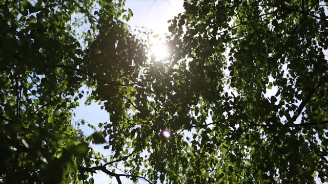 autumn landscape of the birch woods ,sunlight behind birch tree. The sun video