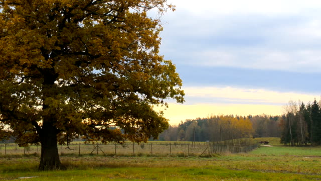 Autumn landscape with orange autumn oak tree in the field video