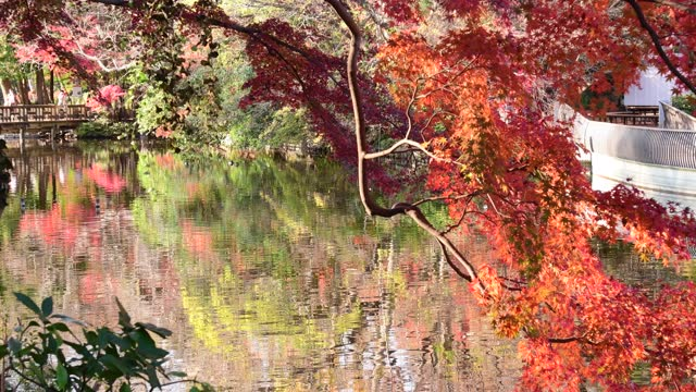 Autumn Leaf Color of Inokashira Park with Beautiful Reflection on Pond, Tokyo