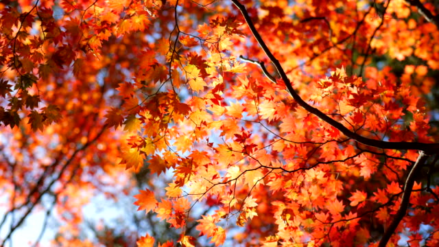 autumn leaf with blue sky - autumn video stock e b–roll
