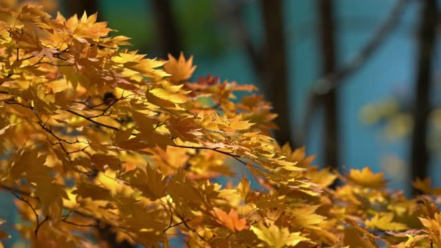 Autumn Leave background with beautiful sunlight at Urabandai Goshi-numa Pond, Fukushima, Japan 4K Autumn Leave background with beautiful sunlight at Urabandai Goshi-numa Pond, Fukushima, Japan, Apple ProRes 422 (HQ) 3840x2160 Format ginkgo stock videos & royalty-free footage
