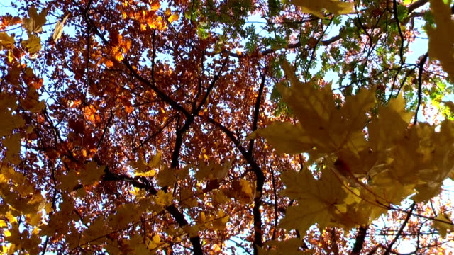 Autumn Leaves Blowing in Michigan Woods video