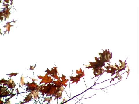autumn leaves blowing in the wind. progressive frames - 管卡規格 個影片檔及 b 捲影像