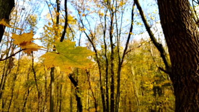 Autumn leaves closeup. video
