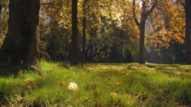 vídeos de stock, filmes e b-roll de folhas de outono, corvos voando, árvores e parque durante o meio-dia, anamorfose (1.25x) slowmotion - setembro amarelo