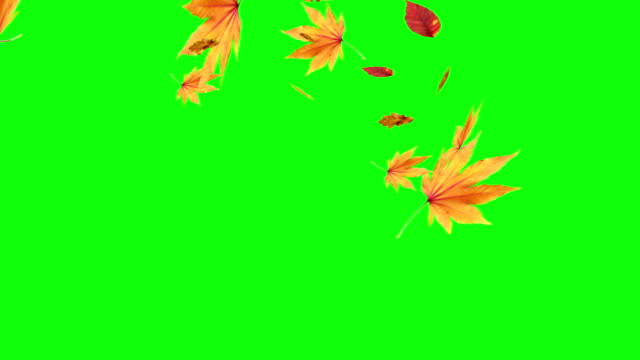 Autumn leaves falling on green screen, chroma key editable background