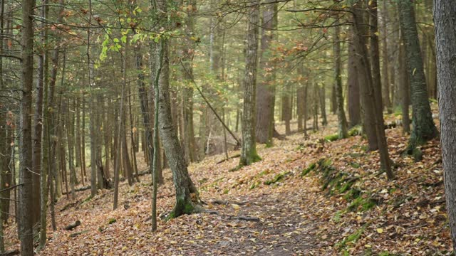 Autumn Leaves Falling Through Forest Trees in Tioga County Pennsylvania