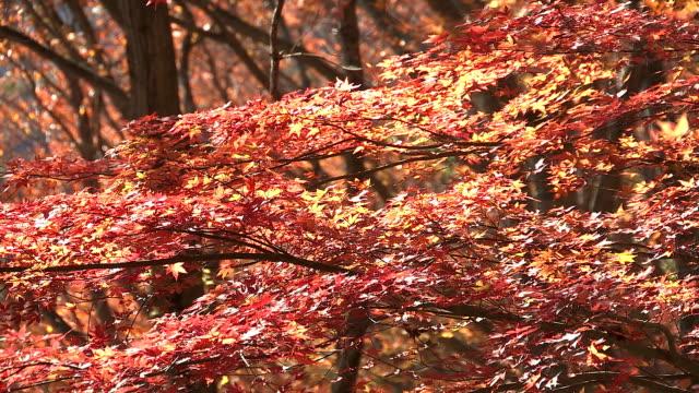 autumn leaves in momiji mountain,yamanashi,japan - maple leaf stock videos & royalty-free footage
