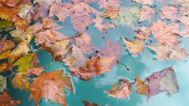 autumn leaves lie on the blue water of the lake