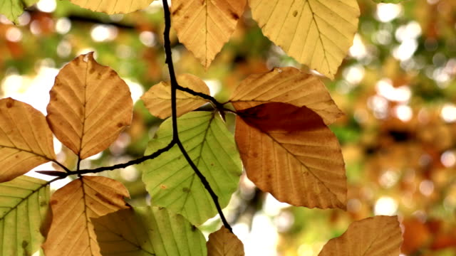 Autumn leaves on a tree video