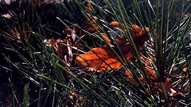 Autumn leaves on pine tree